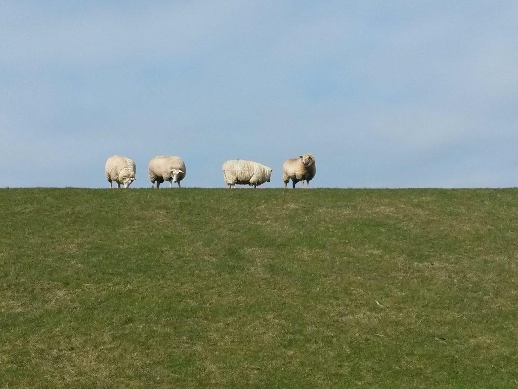 Schafe auf dem Deich in Nordstrand