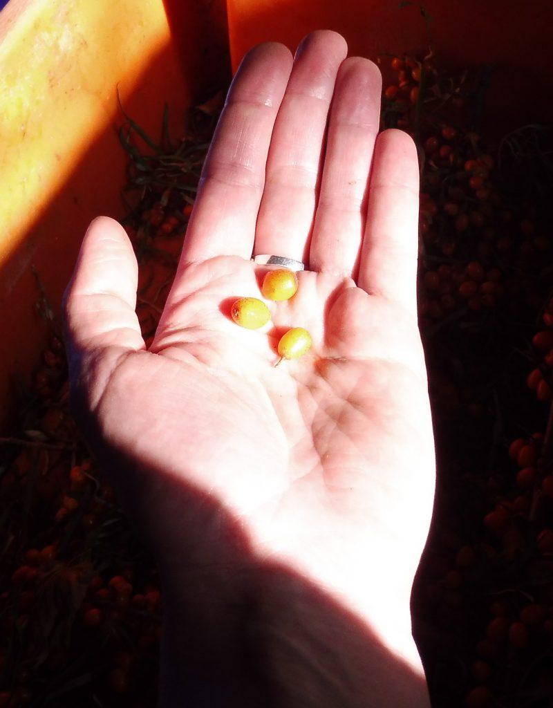 Sanddorn Beeren Vitamin-C-Bedarf Rügen Kap Arkona