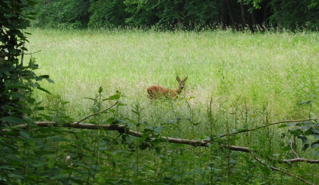 Reh im Stadtwald in Kühlungsborn