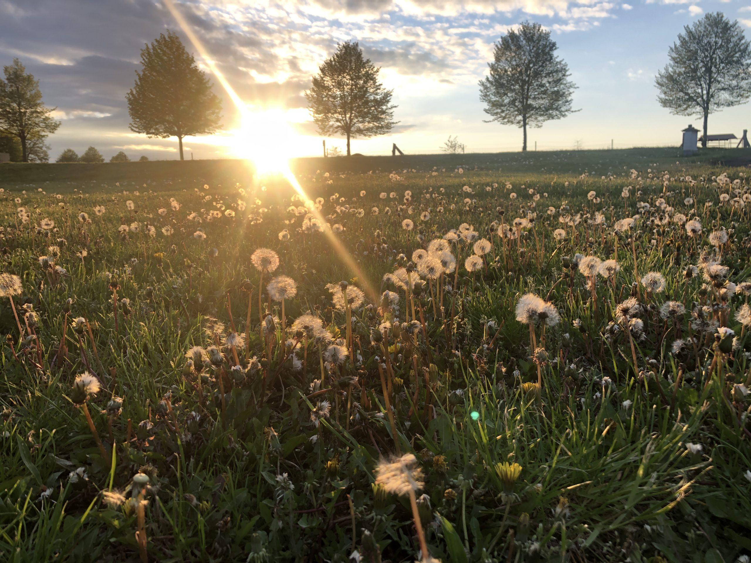 Golchener Hof Pusteblumen